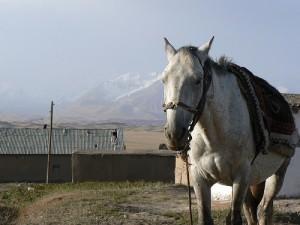 Kirgiz nie schodzi z konia