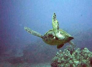 Indonezyjski Żółw Morski