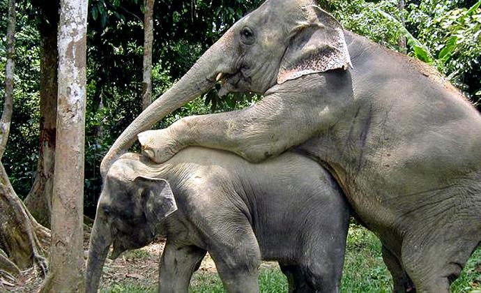 Kopulujące słonie w Tajlandii